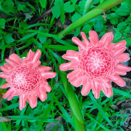 Zázvor ružový okrasný - semená - 3 ks - Etlingera elatior