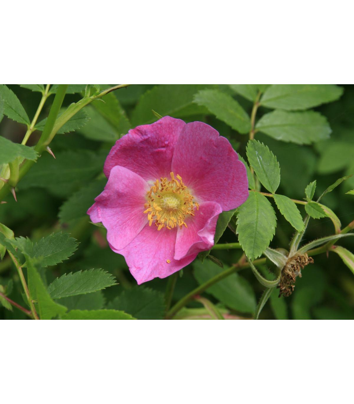 Ruža nutkanská - semená ruže - 5 ks - Rosa nutkana