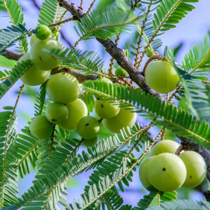Indický Egreš - semená - 8 ks - Phyllanthus emblica