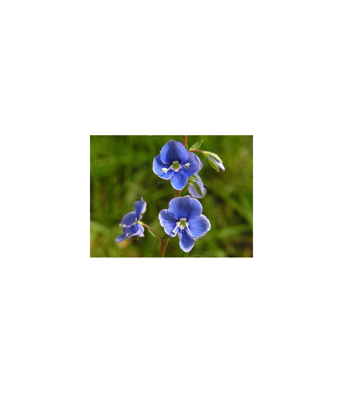 Veronika obyčajná - semená Veroniky - Veronica chamedrys - 25 ks