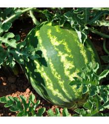 Melón vodový Primaorange F1 - Citrullus lanatus - predaj semien - 7 ks