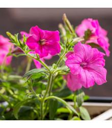Petúnia mnohokvetá Rita F1 - Petunia Hybrida - predaj semien - 30 ks