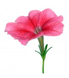 Petúnia mnohokvetá Claudia F1 - Petunia Hybrida - predaj semien - 30 ks
