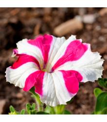 Petúnia mnohokvetá Henrietta F1 - Petunia Hybrida - predaj semien - 30 ks