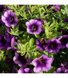 Minipetúnia Kabloom Blue F1 - Milionbells - Calibrachoa Hybrida - predaj semien - 7 ks