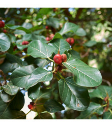 Fíkovník indický - semínka Fíkovníku - Ficus benghalensis - 5 ks
