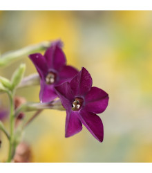 Tabak okrasný Deep Purple F1 - Nicotiana - predaj semien - 50 ks