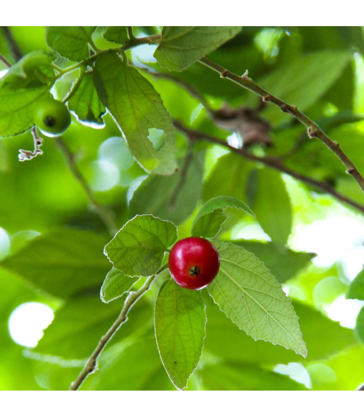 Jamajská třešeň - semínka třešně - Muntingia calabura - 6 ks