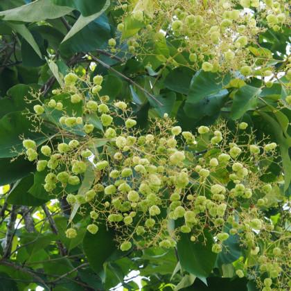 Teka obrovská - semínka Teakového dřeva - Tectona grandis - 7 ks