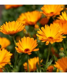 Nechtík lekársky Orange Daisy - Calendula officinalis - predaj semien - 60 ks