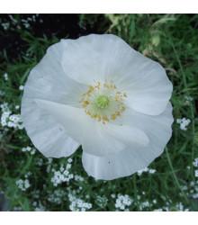 Mak biely Bridal silk - Papaver rhoeas - predaj semien - 150 ks