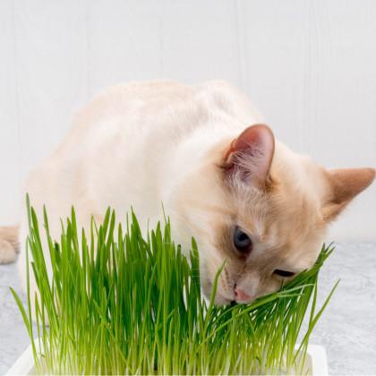 Tráva pre mačky - semená trávy - 100 ks