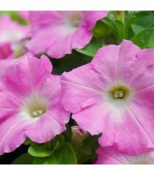 Petúnia Rosy Velvet F1 - surfínia - Petunia Hybrida - predaj semien - 12 ks