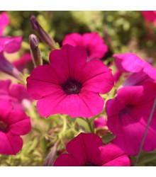 Petúnia Purple Velvet F1 - surfínia - Petunia Hybrida - predaj semien - 12 ks