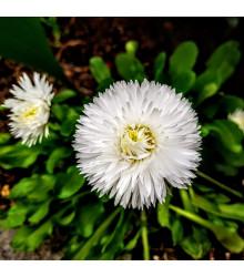 Astra čínska biela Gaia - Callistephus chinensis - predaj semien - 150 ks