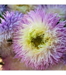 Astra čínska fialová Gerda - Callistephus chinensis - predaj semien - 150 ks