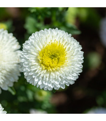 Astra čínska Gracia - Callistephus chinensis - predaj semien - 150 ks