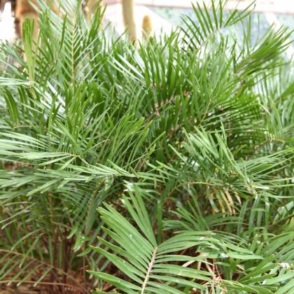 Keják celolistý - semena Kejáku - Cykas Zamia floridana - 2 ks