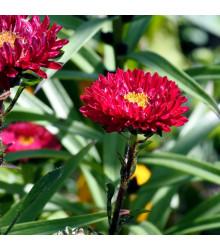 Astra čínska červená Gilda - Callistephus chinensis - predaj semien - 150 ks