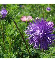 Astra čínska ihlicovitá fialová Denisa - Callistephus chinensis - predaj semien - 150 ks