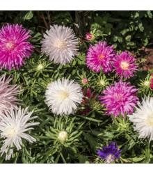 Astra čínska ihlicovitá zmes - Callistephus chinensis - predaj semien - 150 ks
