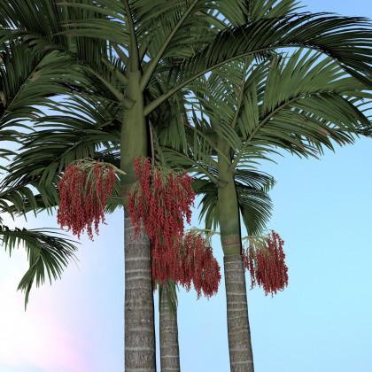 Palma královská - Palma ohnivá - semena Palmy - Archontophoenix alexandrae - 3 ks