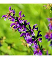 Šalvia lúčna - Salvia pratensis - predaj semien - 150 ks