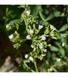 BIO Stévia sladká - Stevia rebaudiana - predaj bio semien - 12 ks
