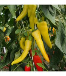 Paprika kozie roh Sora - Capsicum annuum - semená - 55 ks