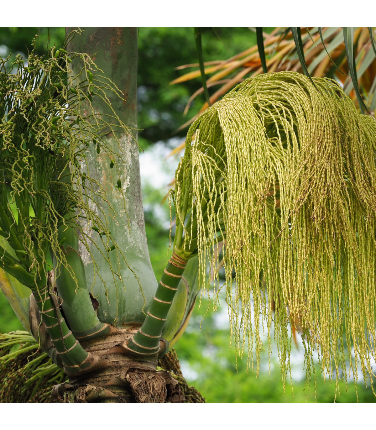 Palma lahvová - semena Palmy - Hyophorbe lagenicaulis - 3 ks