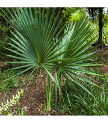 Palma Washingtonia robusta - semena Palmy - 3 ks