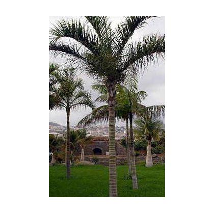 Palma madagaskarská - semena Palmy - Dypsis madagascariensis - 3 ks