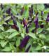 Chilli Jalapeno fialové - Capsicum annuum - semená - 6 ks