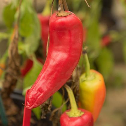 Chilli Maďarský vosk - Capsicum annuum - semená - 6 ks