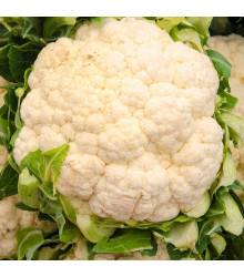Karfiol Bora - Brassica oleracea - predaj semien - 140 ks