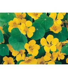 Kapucínka nízka Tip Top Gold - Tropaeolum Minus  - predaj semien - 10 ks