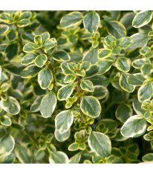 Tymián Anglická zima - semená - 50 ks - Thymus vulgaris