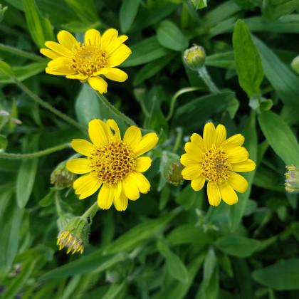 Arnika liečivá - semená - 13 ks - Arnica chamissonis