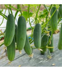 Uhorka šalátová Picolino F1 - Cucumis sativus - predaj semien - 4 ks