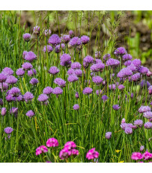 Pažítka pobrežná Staro - Allium schoenoprasum L.- predaj semien - 40 ks