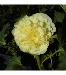 Topoľovka žltá Chaters - Alcea rosea - predaj semien - 12 ks