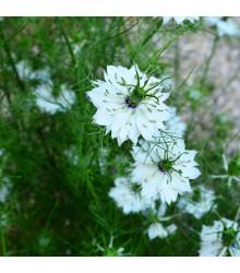 Černucha setá - Kmín černý - semena Černuchy - Nigella sativa - 25 ks