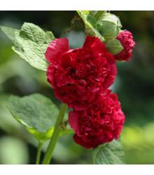 Topoľovka Chaters Scarlet - Alcea rosea - predaj semien topoľovky - 8 ks