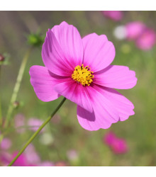 Krasuľka Sonata Pink - Cosmos bipinnatus - predaj semien krasuľky - 15 ks