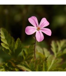 BIO Pakost smradľavý - Geranium robertianum - predaj bio semien - 10 ks