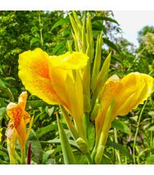 Kana Yellow Humbert - Canna - predaj cibuliek kany - 1 ks