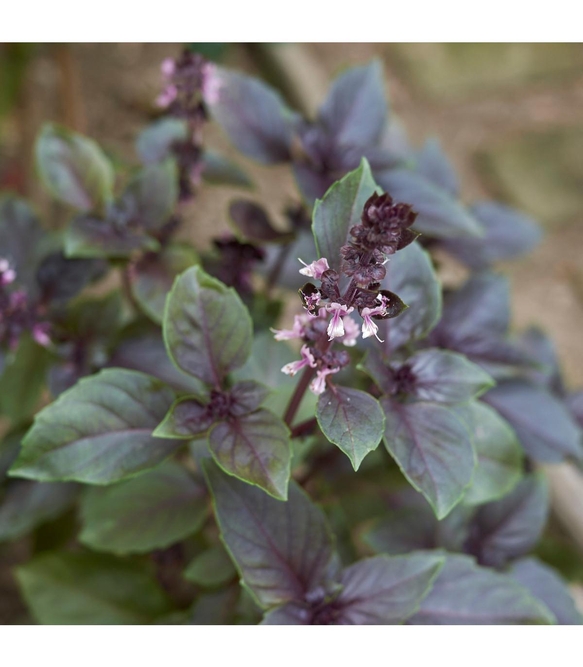 Bazalka skořicová - osivo Bazalky - Ocimum basilicum - 50 ks