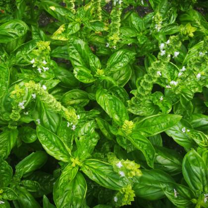 Bazalka pravá Spice - osiva Bazalky - Ocimum basilicum Spice Basil - 30 ks