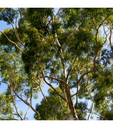 Eukalyptus citrónový - semena - 5 ks - Eucalyptus citriodora