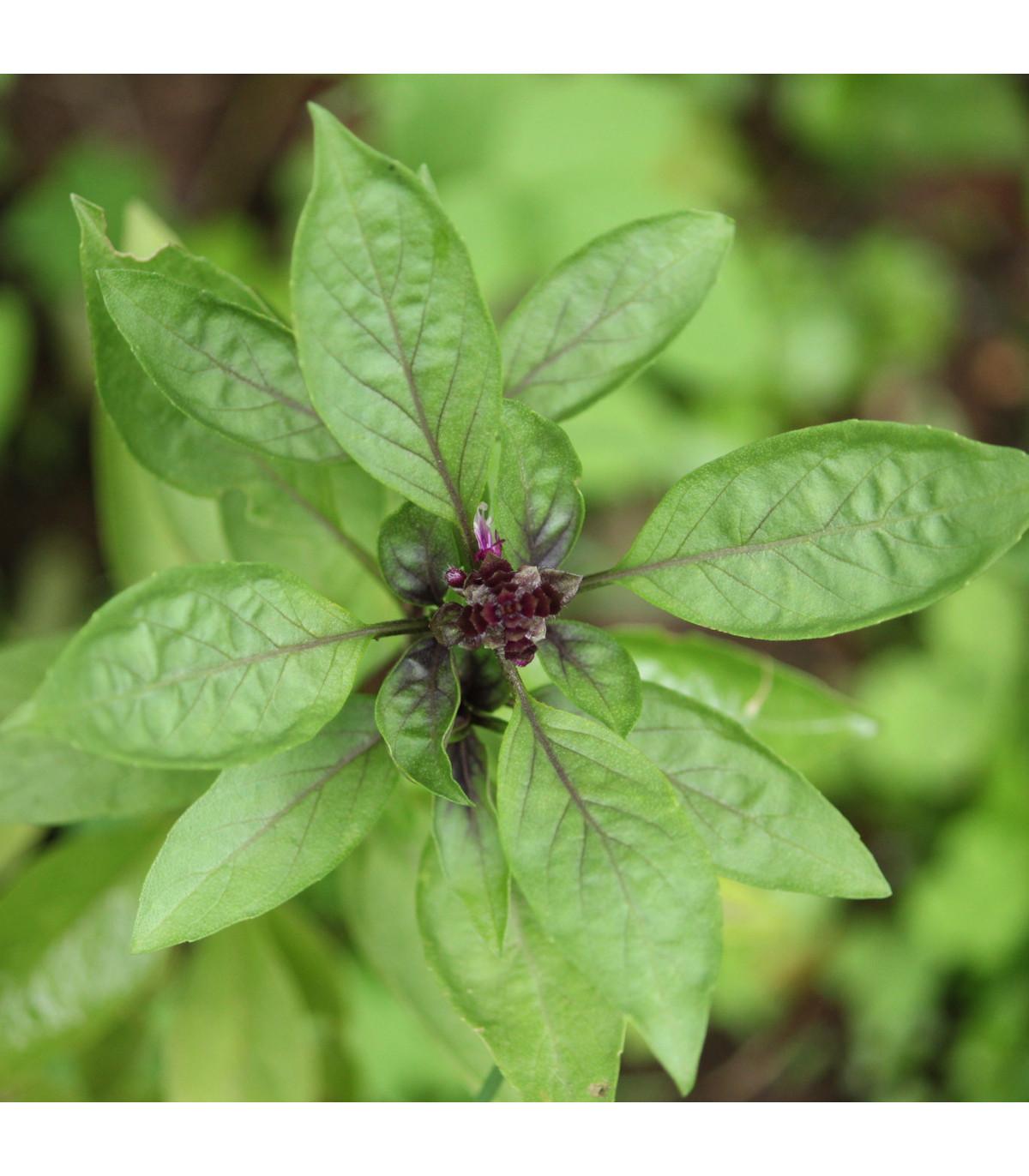 Bazalka thajská - bazalka exotická - osivo Bazalky - Ocimum basilicum thai - 50 ks